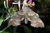 poplar hawkmoth Laothoe populi on honeysuckle 040709 ©RLLord 6557 smg