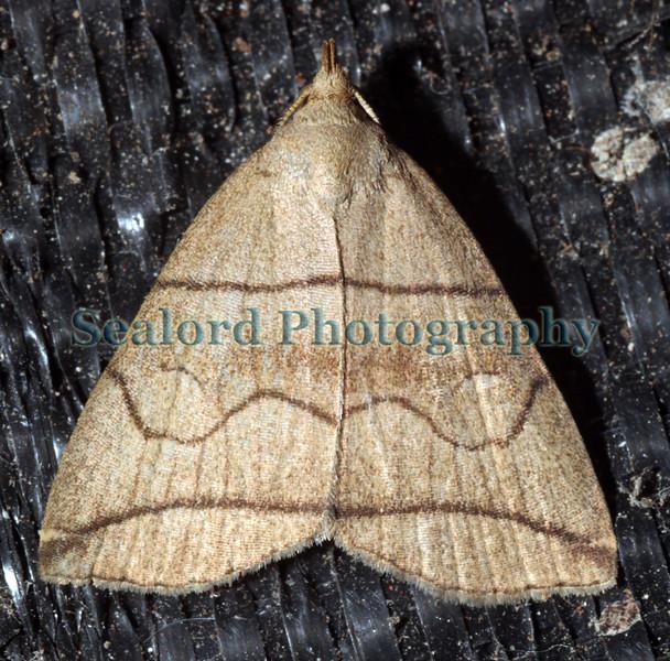 small fan-foot moth, Hermania grisealis