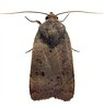 pale moth clord garden trap 080908 9504 RLLord em