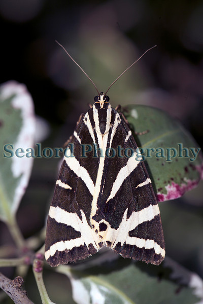 Jersey tiger moth in Guernsey
