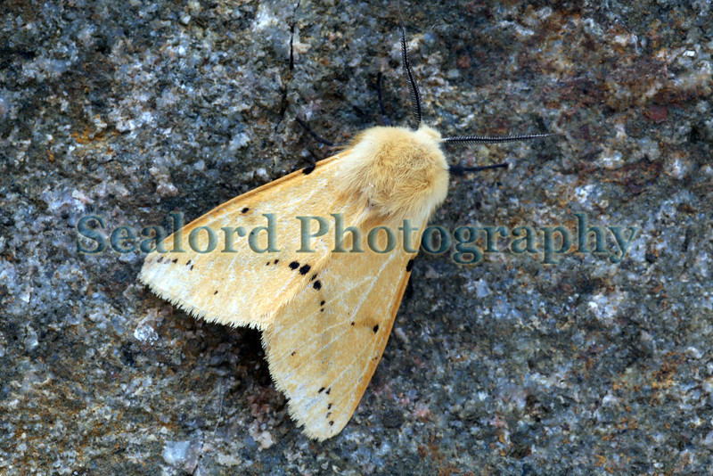 buff ermine Spilosoma luteum 160609 ©RLLord 5477 smg