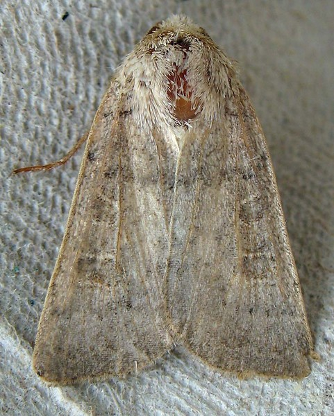 thick vein moth clord garden trap 080908 9368 RLLord em