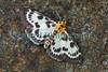 Small Magpie Eurrhypara hortulata 250609 6084 smg