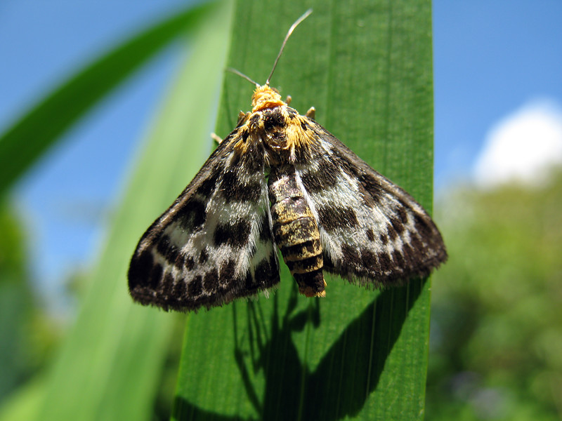 """This small Magpie moth, Eurrhypara hortulata, was found by a vegetable patch in my garden on the 13 July 2008.  It was identified from photographs by entomologist Dr. Charles David of the Guernsey Biological Records Centre.     <a href=""""http://www.biologicalrecordscentre.gov.gg/"""">http://www.biologicalrecordscentre.gov.gg/</a><br /> File No. 130708 5439<br /> ©RLLord<br /> fishinfo@guernsey.net"""