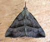 Guernsey moth expert Richmond Austin confirmed the identification of this moth as a snout, Hypena proboscidalis.  It entered a moth trap set in my garden in St. Peter Port, Guernsey on the night of 22 September 2008 and was photographed the following morning.<br /> File No. 220908 939<br /> RLLord<br /> fishinfo@guernsey.net