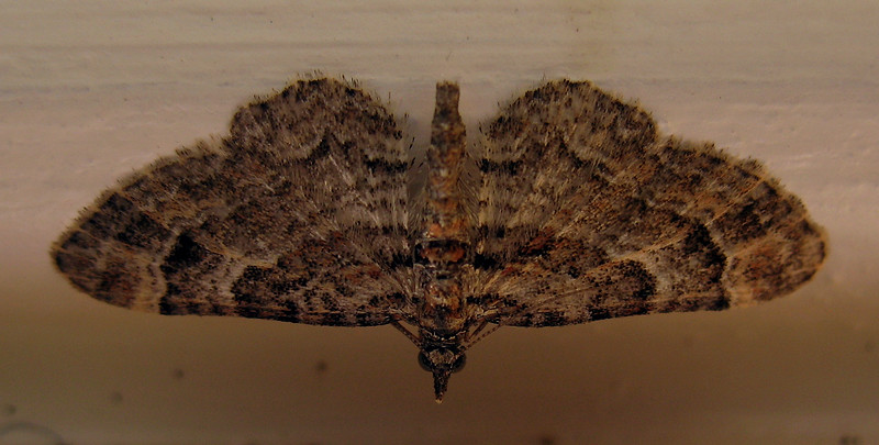 Double-striped pug moth, Gymnoscelis rufifasciata
