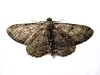 moth clord garden trap 080908 9500 RLLord em