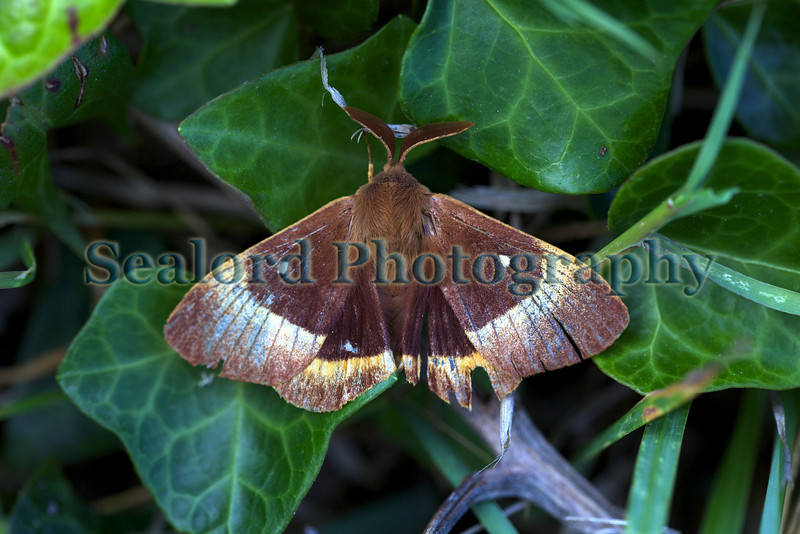 Male oak eggar moth, Lasiocampa quercus, by the path leading to Jaonnette Bay, south coast of Guernsey