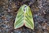 Green silver-lines moth, Pseudoips prasinana