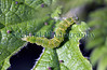 Andy Hall, butterfly recorder for La Société Guernesiaise, has identified this caterpillar as belonging to a snout moth, Hypena proboscidalis.  It was photographed feeding on nettles in my garden in St Peter Port, Guernsey on the 4 May 2009.<br /> File No. 040509 3619<br /> ©RLLord<br /> fishinfo@guernsey.net