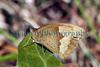 Meadow brown butterfly