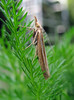 The moth Agriphila tristella on a lawn in St Peter Port