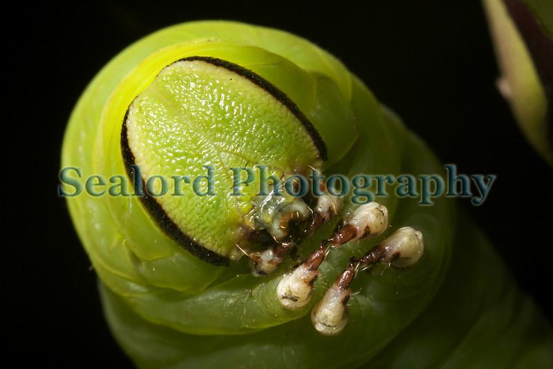 Privet hawk moth caterpillar head