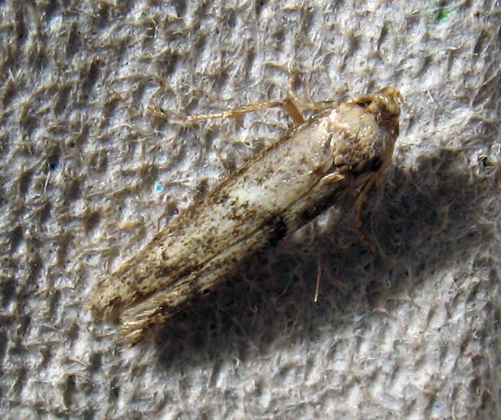 small moth clord garden trap 090808 9558 RLLord em
