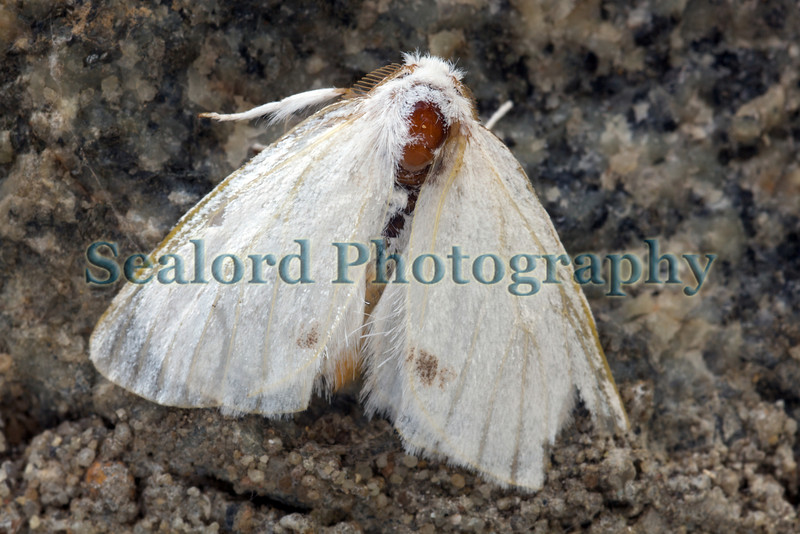 white lined moth 050709 6632 smg