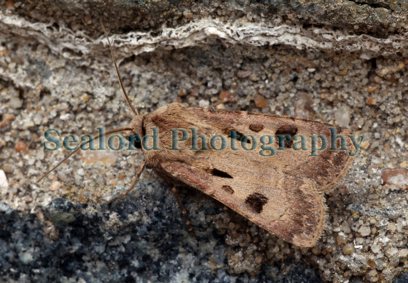 Heart and Dart Agrotis exclamationis ©RLLord 170609 5472 smg