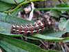 knot moth caterpillar, Acronicta rumicis, on plantain leaf