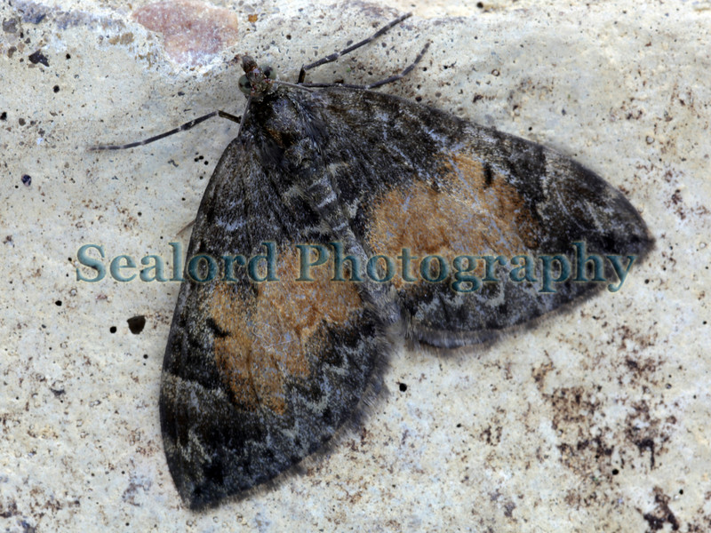 Common Marbled Carpet Chloroclysta truncata ©RLLord 220609 5739 smg