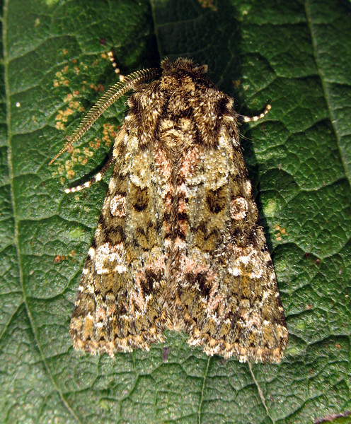 Guernsey moth expert Richmond Austin identified this feathered ranunculus moth, Polymixis lichenea lichenea, which was attracted to a moth trap set in my garden in St. Peter Port, Guernsey on the night of 15 September 2008.  The moth flew to a nearby chestnut tree where I photographed it on a leaf in the early morning sun.<br /> File No. 150908 533<br /> fishinfo@guernsey.net<br /> Richard Lord