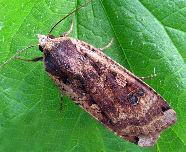 Large yellow underwing moth, Noctua pronuba
