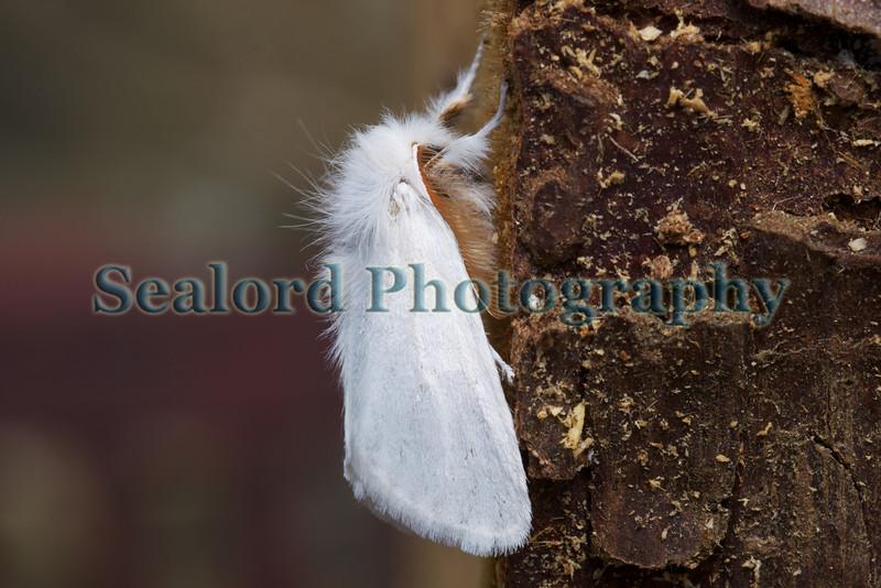 brown tail Euproctis chrysorrhoea 280609
