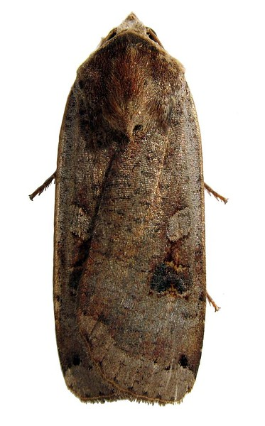 Yellow underwing moth, Noctua pronuba