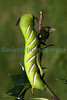 Privet hawk moth Spinx ligustri M&S St Martin 280810 ©RLLord 1506 smg