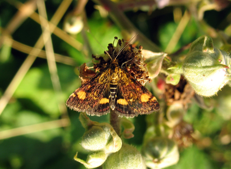 The moth Pyrausta aurata by Fort Road on 30 July 2008
