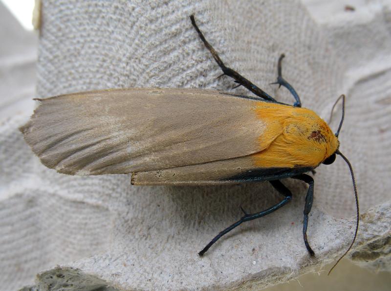 Four-spotted footman moth, Lithosia quadra