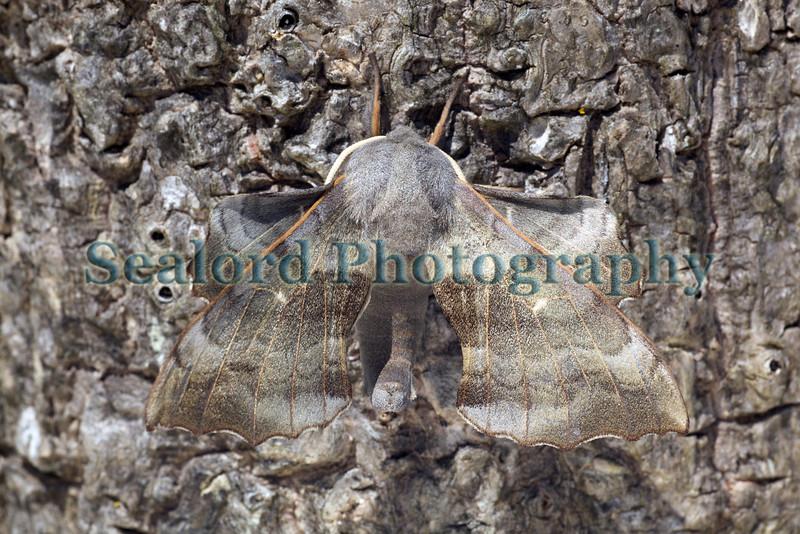 Poplar hawkmoth, Laothoe populi