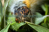 oak eggar caterpillar Lasiocampa quercus Lihou 1623 230509 ©RLLord 4357 smg