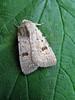 clancys rustic Platyperigea kadenii 280908 1552 RLLord smg