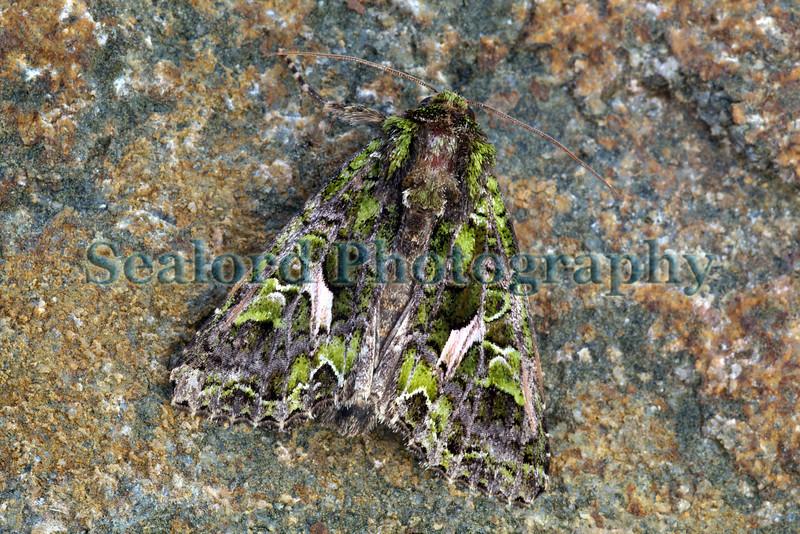 Orache moth, Trachea atriplicis