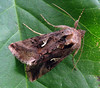 Silver y moth, Autographa gamma, in a St Peter Port garden