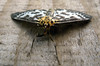 small magpie moth, Eurrhypara hortulata, in St Peter Port
