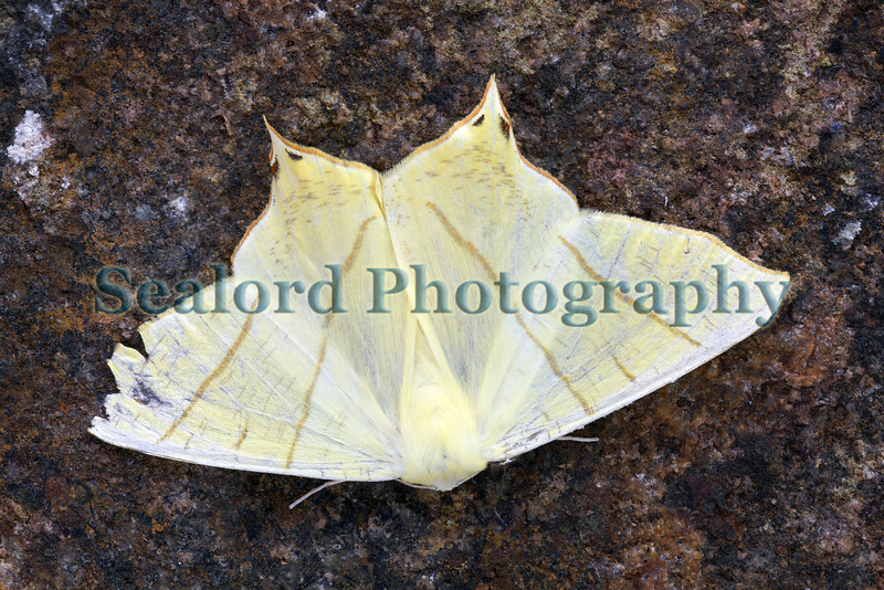 This beautiful swallow-tailed moth, Ourapteryx sambucaria, entered a moth trap set in my garden in St Peter Port, Guernsey on the 3 July 2009.  It was photographed on the morning of 4 July on the wall of my garage.<br /> File No. 040709 6534<br /> ©RLLord<br /> fishinfo@guernsey.net