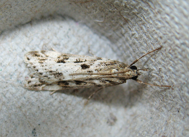 "Guernsey moth expert Richmond Austin writes that this moth ""is almost certainly Eudonia angustea but I find them a difficult group to identify with certainty.""  This moth entered a moth trap set on the 21 September 2008 in my garden in St. Peter Port, Guernsey.  It was photographed in an egg carton on the morning of 22 September.  Egg cartons are used as substrate inside moth traps for the moths to settle on.  It is the convention to date the moth record for the date the moth trap is set and not the date it is emptied.<br /> File No. 210908 889 <br /> RLLord<br /> fishinfo@guernsey.net"