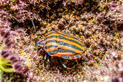 Percevejo-listrado, Graphosoma lineatum (Strip bug)