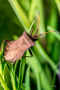 Percevejo (Gonocerus acuteangulatus) - Box Bug