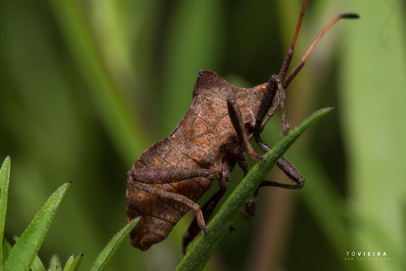 Percevejo (Gonocerus acuteangulatus) - Box Bug