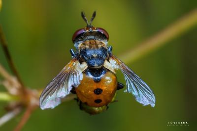 Mosca da família Tachinidae // TACHINID Fly (Gymnosoma sp.)