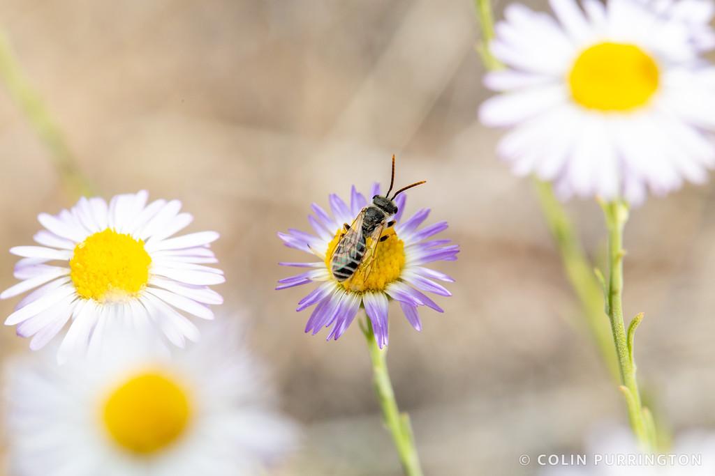 Ligated furrow bee