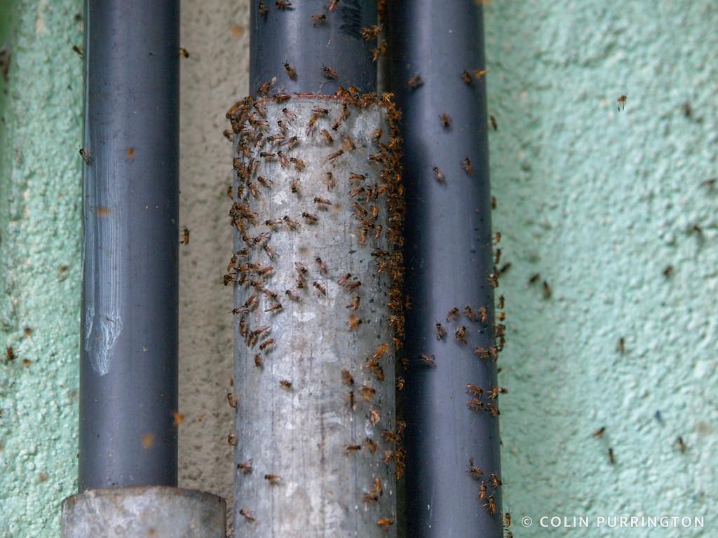Narrow stingless bees