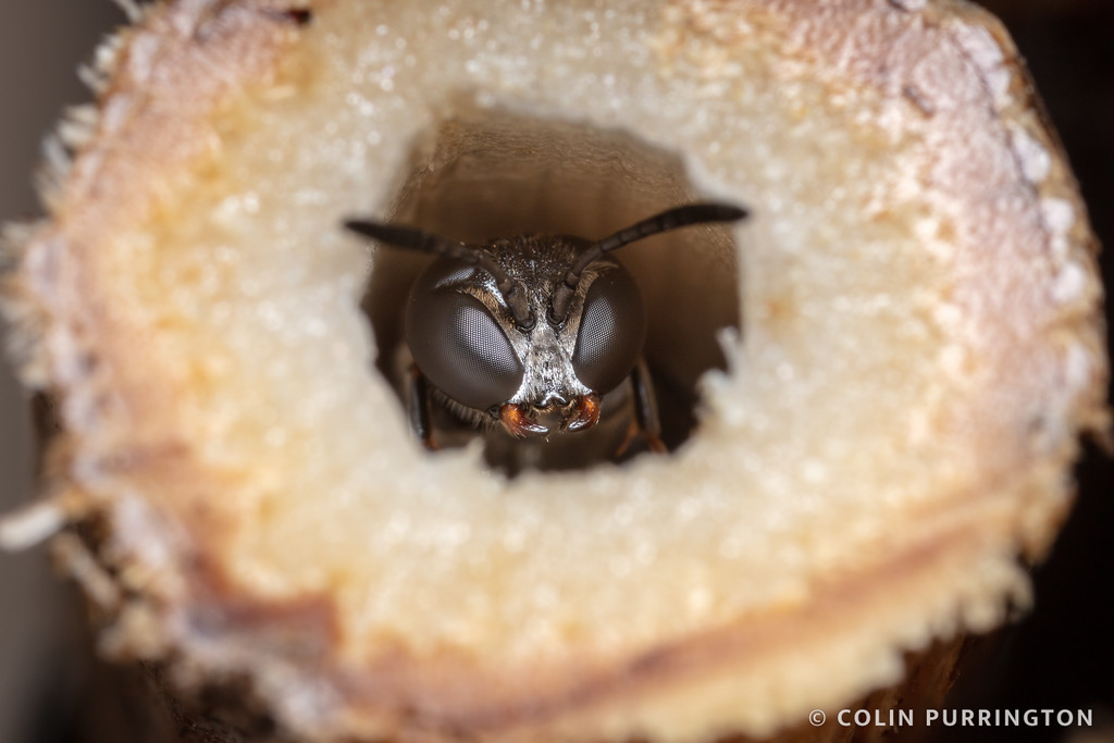 Trypoxylon collinum guarding nest.