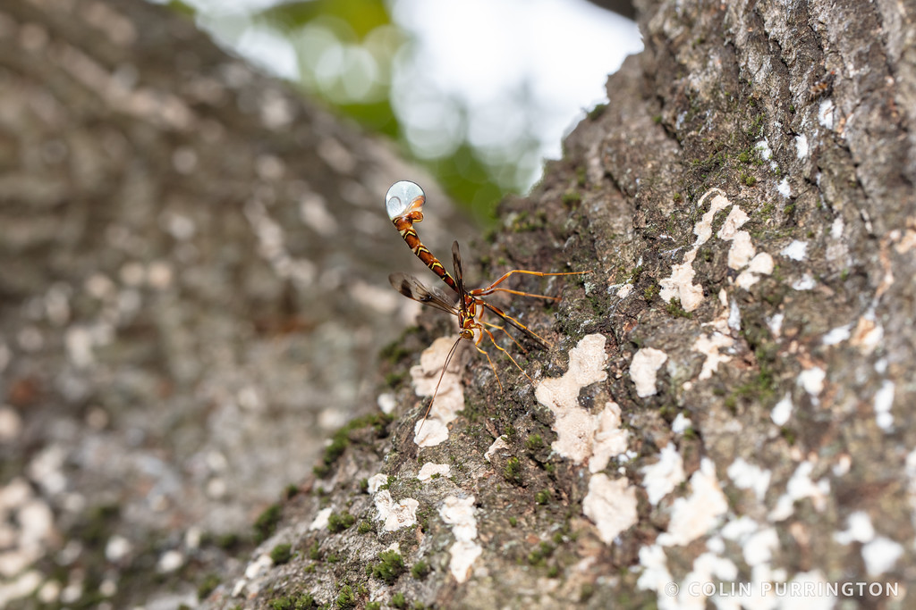 Green's giant ichneumonid wasp