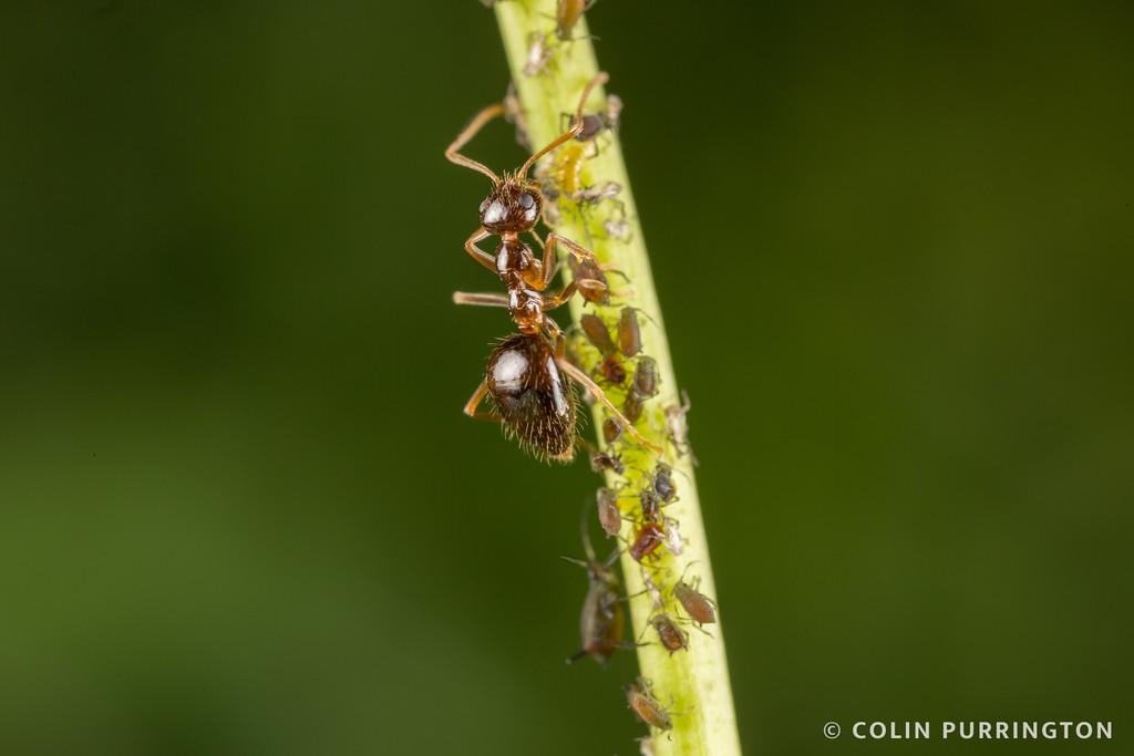 Small honey ant