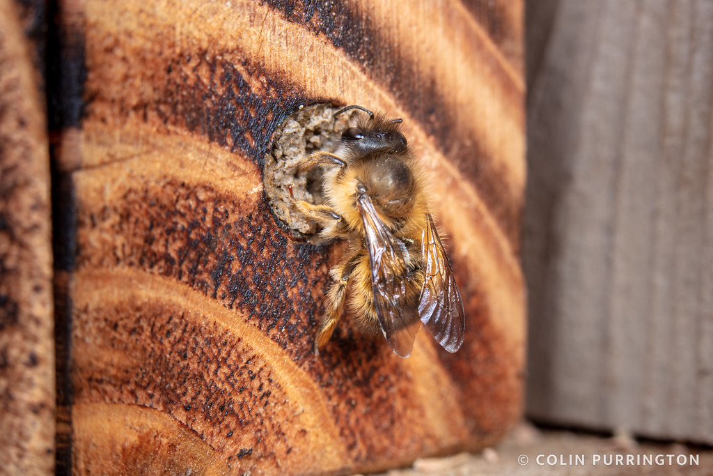 Taurus mason bee