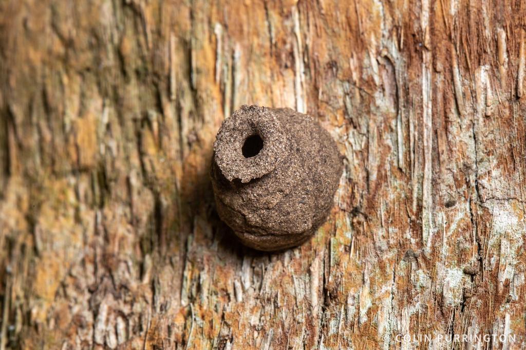 Eumenes nest