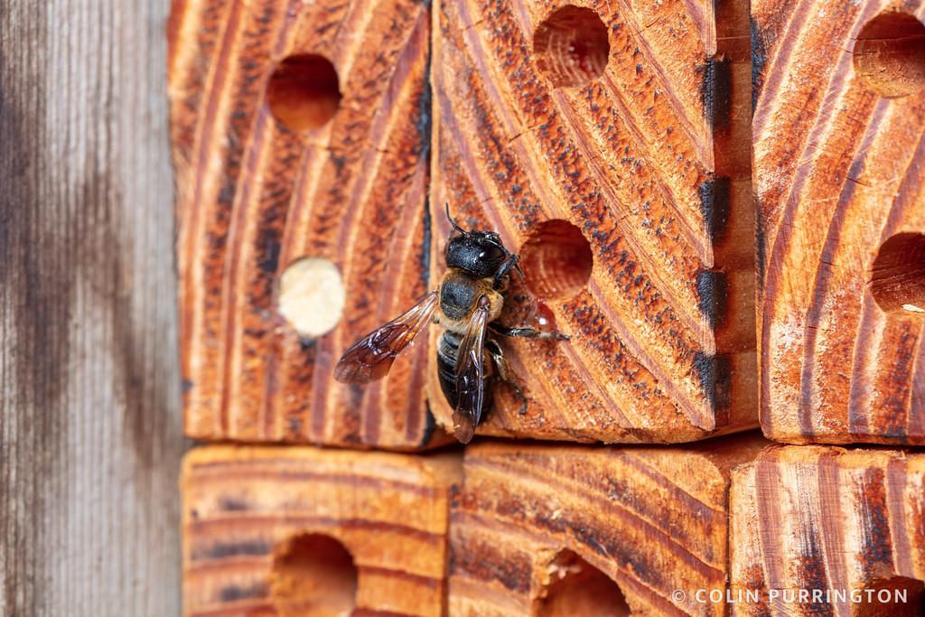 Giant resin bee nest