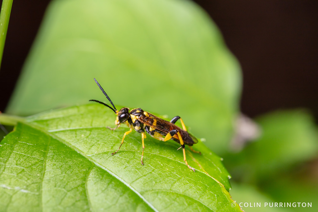 Macrophya formosa